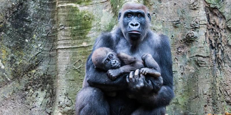 In Africa gli scimpanzé uccidono i gorilla: è la prima volta che accade